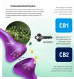 ECS-System-Endocannabinoid2